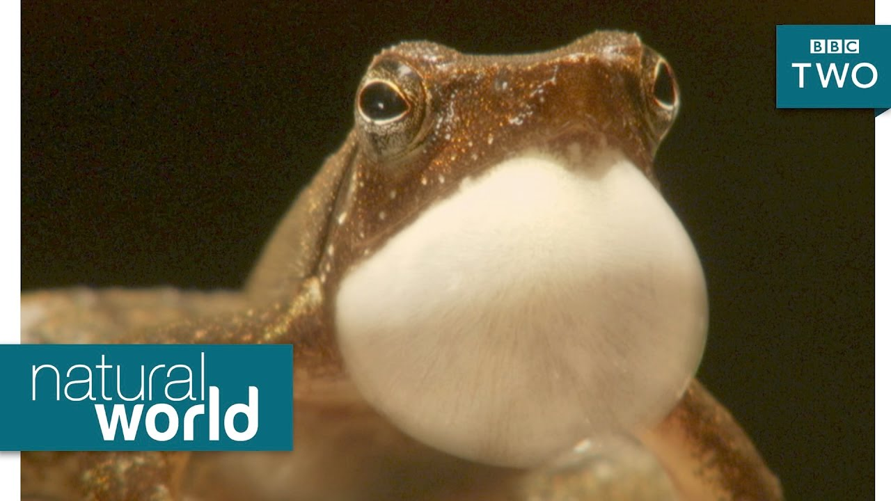 Propositioning frog princes - Natural World 2017: Nature's Miniature Miracles - BBC Two