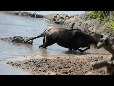 Noble Wildebeest vs. Massive Crocodile