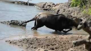 අවසානයේ මොකද වෙන්නේ කියල බලන්නකෝ  Noble Wildebeest vs. Massive Crocodile