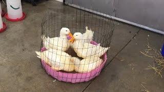 Duck Outdoor Water Part 2