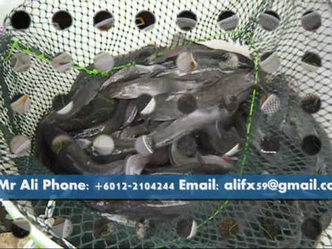 Malaysian Freshwater Catfish Project Part 3 Video