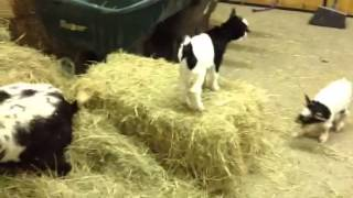 Fainting goat kids in the barn!