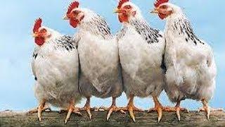 Thịt gà có an toàn sức khỏe?