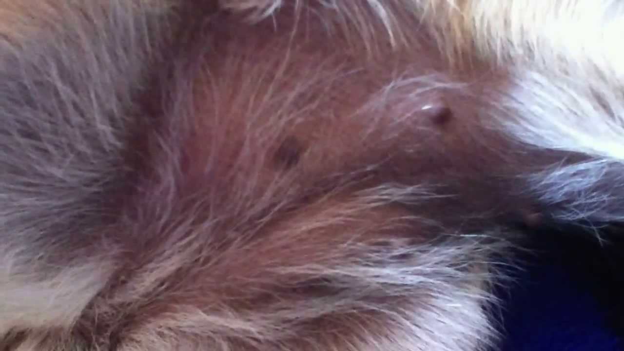 chihuahua s 2 weeks pregnant   youtube