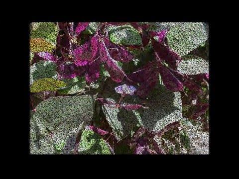 Ползучие и вьющиеся растения и кустарники – часть 2