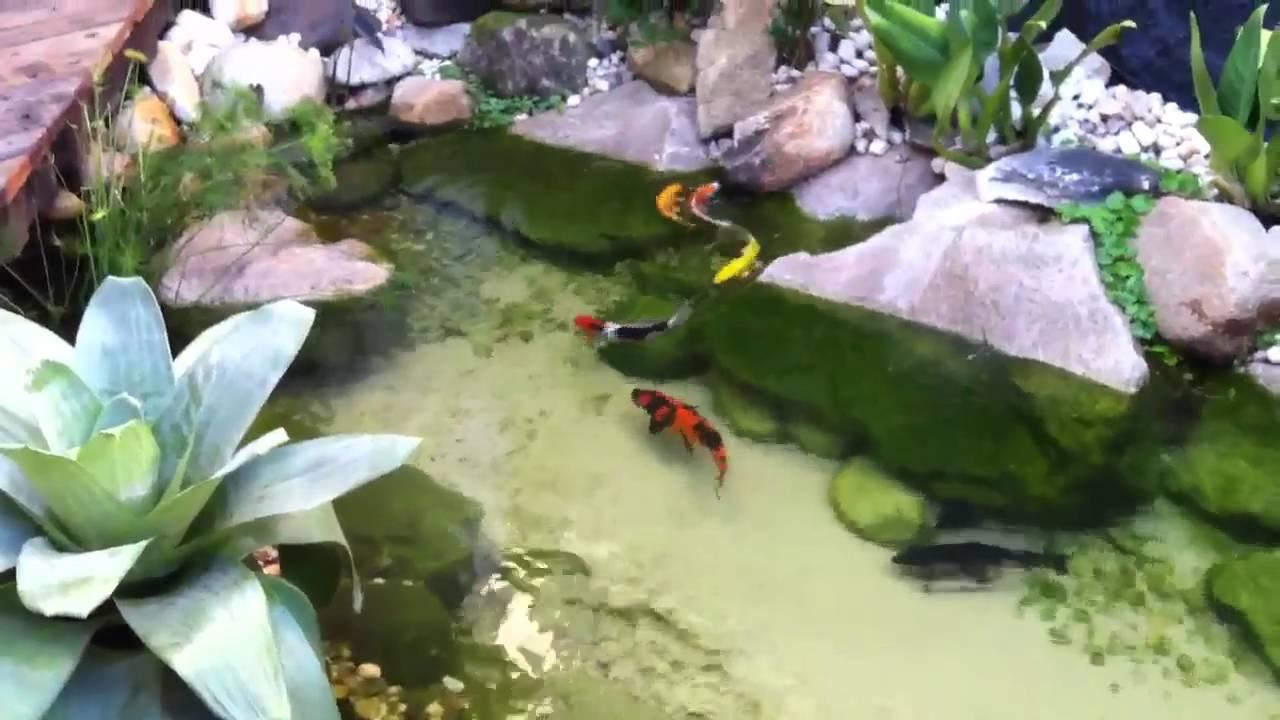 Carpas koi se alimentando no lago da cubos youtube for Carpas koi para estanques