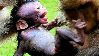 Billion Pitty! Baby Monkey Daniela Cries So Loudly While Queen Dolley Attack From Dana.
