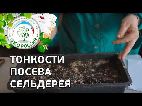 Как сажать семена сельдерея 77
