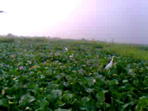 Ikorodu Water Hyacinth.3gp