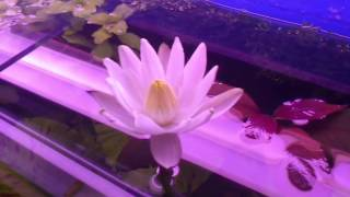 Нимфея или кувшинка тигровая (Nymphaea lotus)