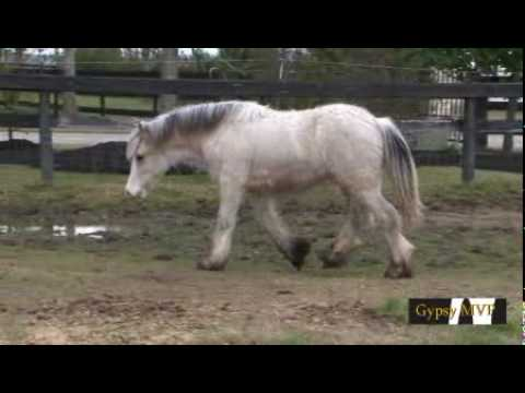 gypsy vanner horses for sale in texas. Gypsy Vanner Colt - Segway