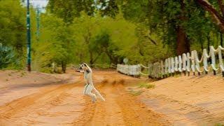 Island of Lemurs: Madagascar - The Lemur Dance Clip [HD]