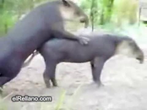 Tapires en celo