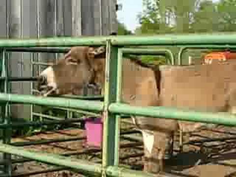 donkey bet definition