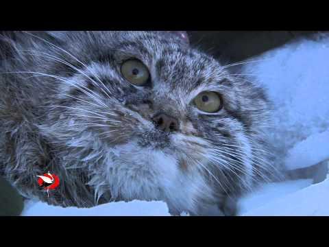 Кот манул и наука