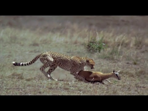 Cheetah Hunting - Slow Motion