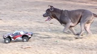 1 RC Car vs. 9 Dogs