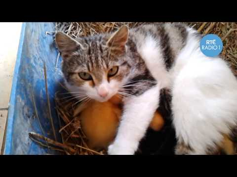 Amazing footage of a cat breastfeeding ducklings!!
