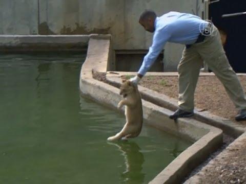 Львятам в зоопарке устроили тестовое купание (новости)