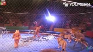 LEONI Si ribellano al domatore - Attacco al circo - amazing video - Lion Attack