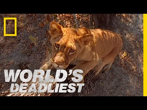 World's Deadliest - Lion Cubs vs. Baboon