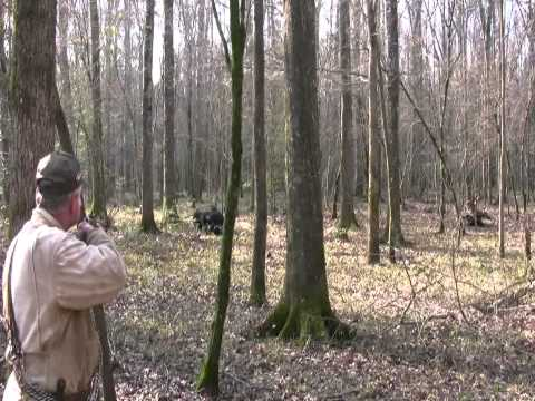 Pissed Off Charging Boar!  Wild Hog Hunting  -  Boar Hunting video