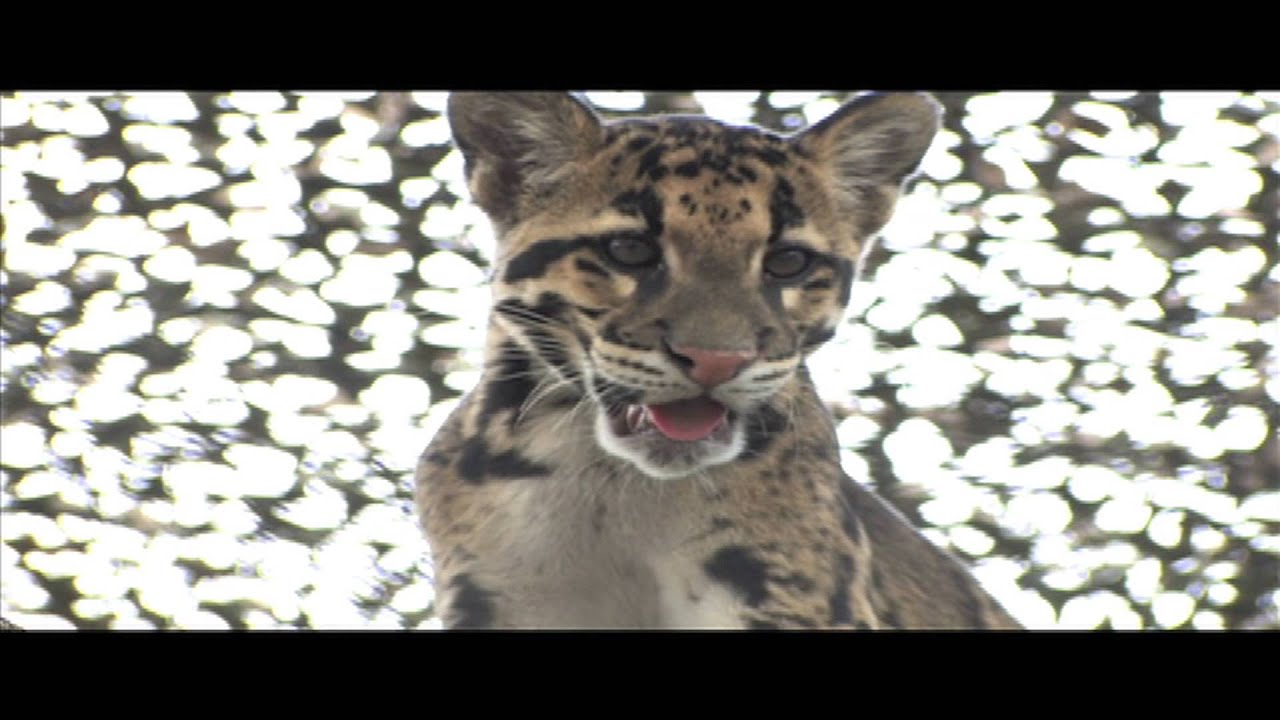 Baby clouded leopard wallpaper