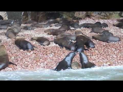 Lobos marinos - Islas Ballestas (Paracas, Perú)