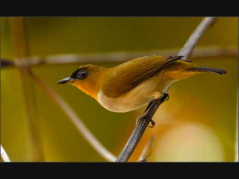Audio Terapi Untuk Burung Pleci