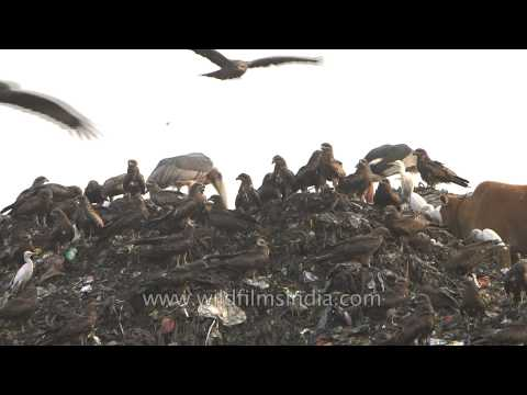 Birds and animals look for food at a landfill site in Guwahati