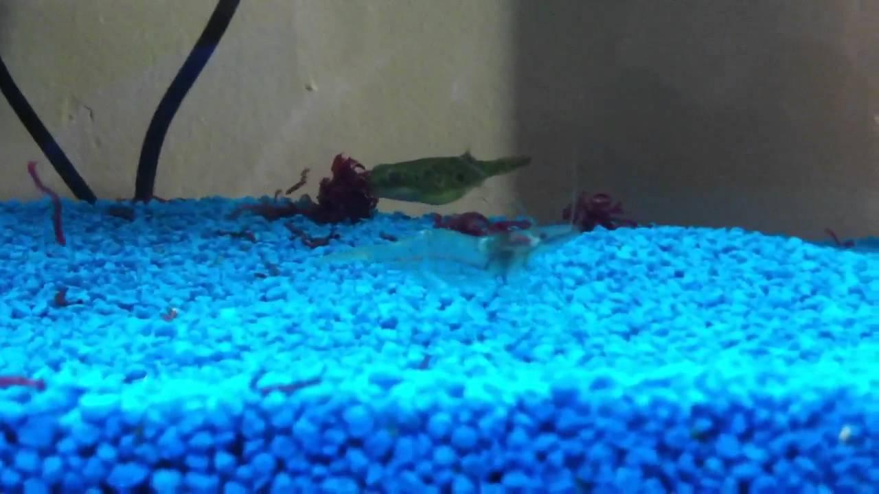 Pesce palla acqua dolce youtube for Pesce pulitore acqua dolce