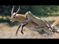 Download [Top 10 Dangerous Animal Attack]  Amazing Wild Animal Attacks #4 - Leopard Attacks Deer - Incredibl in Mp3, Mp4 and 3GP