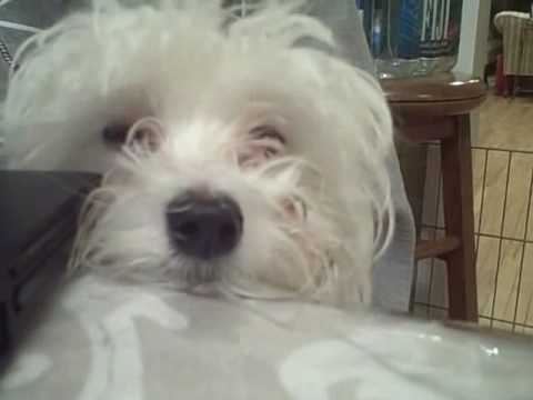 Funny Maltese Puppy Snowball Youtube