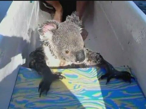 Koala hitches a ride in a canoe in Australia - Koala úszik és kajakozik (Ausztrália)