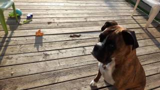 Boxer dog hears a food timer for the first time.