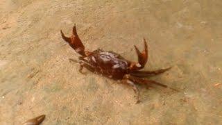 Dangerous Live Crabs Attacks - 2015 Video