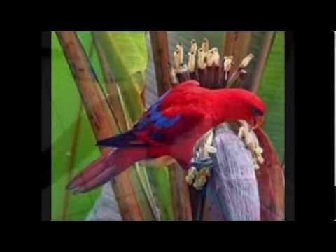 Ocehan Burung Nuri | Burung Nuri Rajanya Gacor video