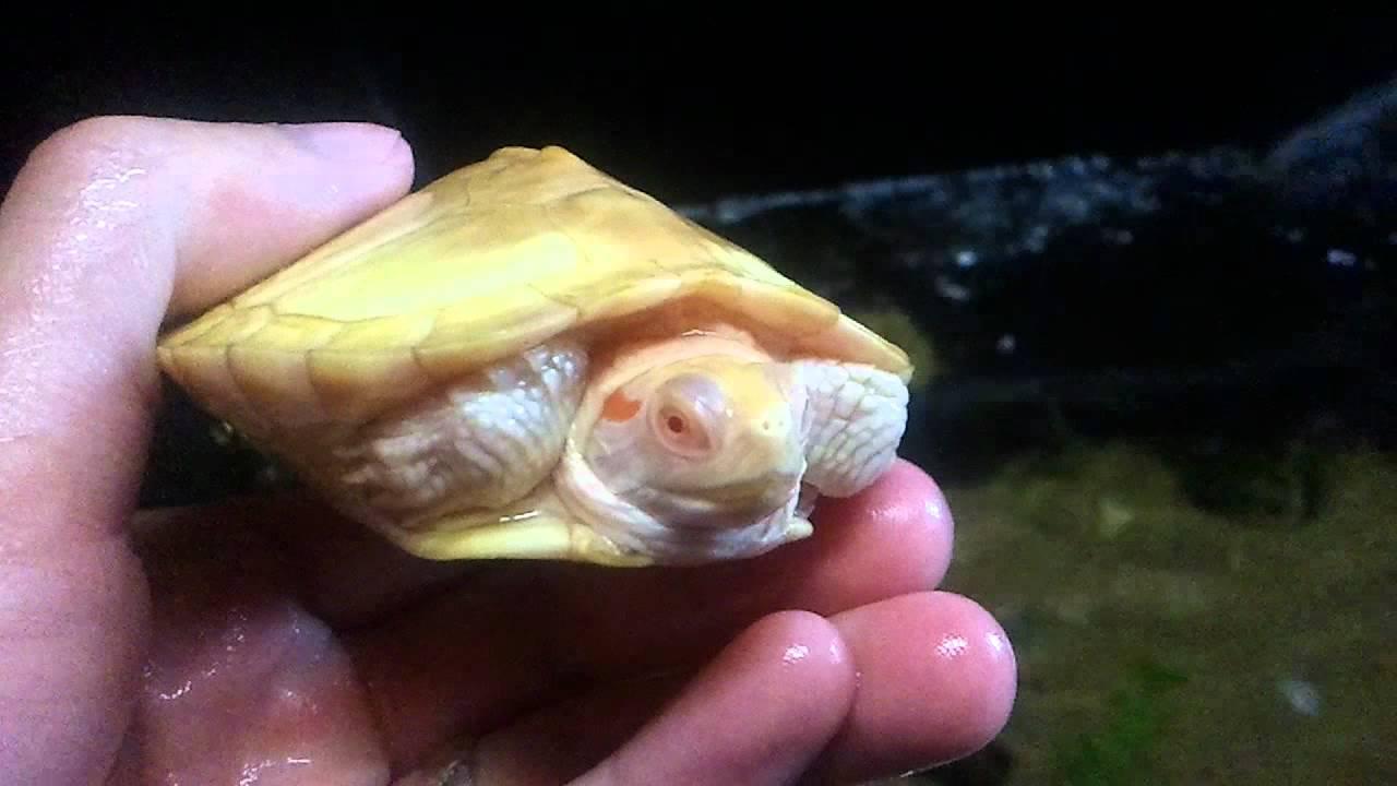 Turtlemorphs Small Waterland Tub W Juvenile Caramel