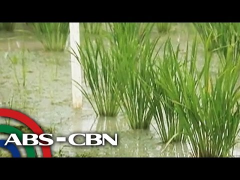 Bandila Xtra: Flood-proof rice and rice that can survive drought
