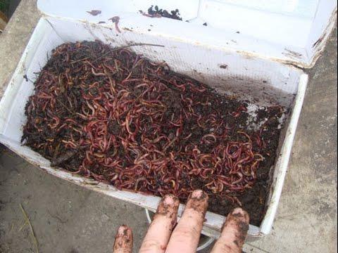 Как в домашних условиях вырастить червей дождевых червей