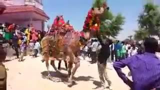 ऊंट डांस राजस्थान