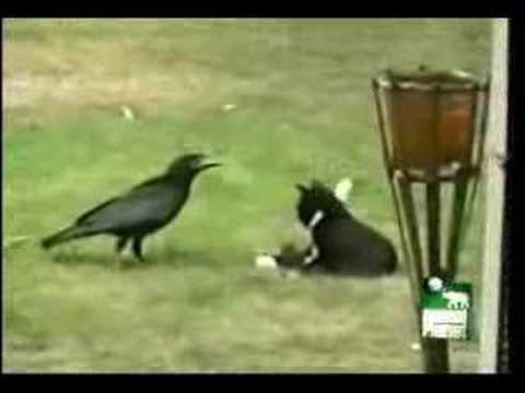 Crow adopts kitten Video