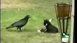 Thumb Cuervo que adopta a un gato