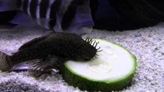 Bushynose Pleco loves zucchini