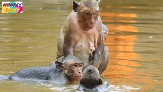 So long time Jill take baby to swim with her| Brutus Jr weaker&weaker cos drowning|Monkey Daily 1060