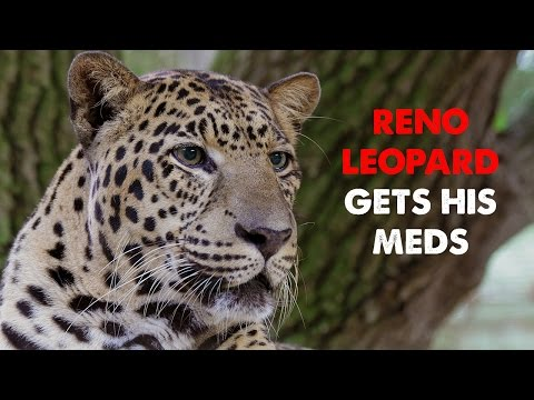 Daily Big Cat - 9-15-14 - Reno Gets His Meds