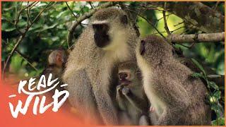 Street Monkeys - Mating Season [Documentary Series]  | Wild Things