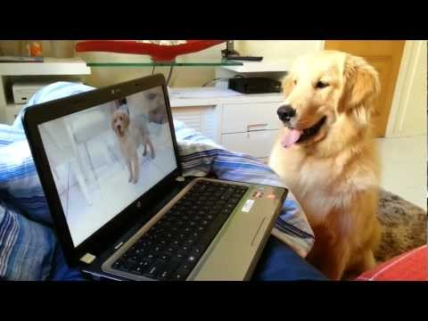 Miniatura del vídeo Golden Retriever 10 meses Kadu vendo seu vídeo
