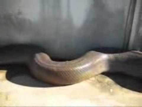 Nokia 5233\big King Cobra (vikaspanchal09gmail).3gp video