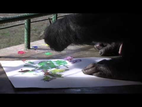 Chiffon, a chimpanzee escape artist, paints instead of being outside with his group